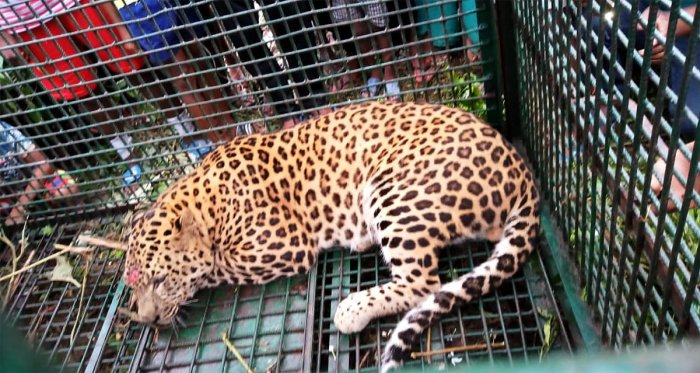 According to sources in the state's Forest Department, at least 10 cases of leopard attacks have taken place in the tea garden areas in the last couple of years.