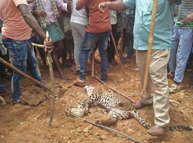 A leopard cub that was beaten to death by irate villagers at Kurubarahalli near Srirampur in Chitradurga district on Wednesday.