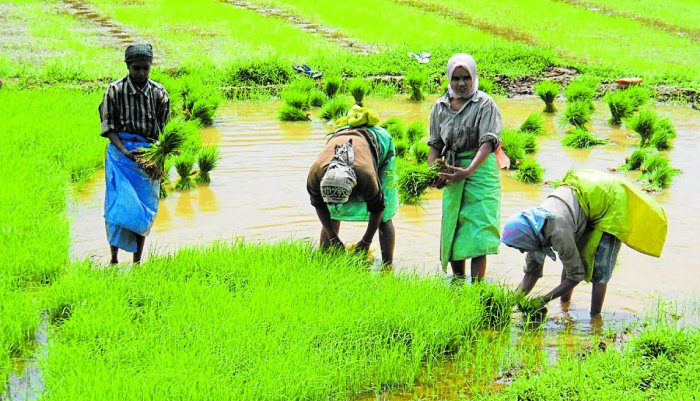 Even though the water is sufficient for horticultural crops, paddy requires comparatively more quantity of water.