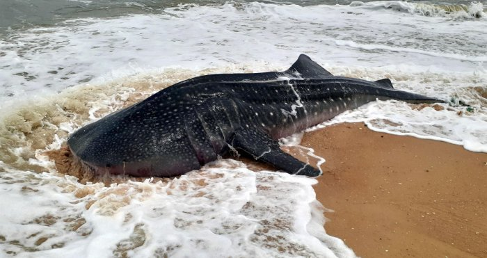 Researchers from the University of Exeter in the UK scoured existing published studies and Twitter for shark and ray entanglements and found reports of more than 1,000 entangled individuals. File photo