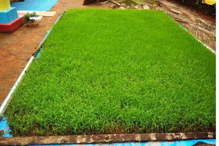 Paddy seedlings raised under the 'mat nursery' method in Alandoor.