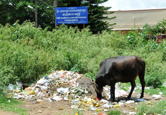 A cow feeds on waste dumped on a vacant site next to a hospital at Hosamane Layout, Chikkamagaluru.
