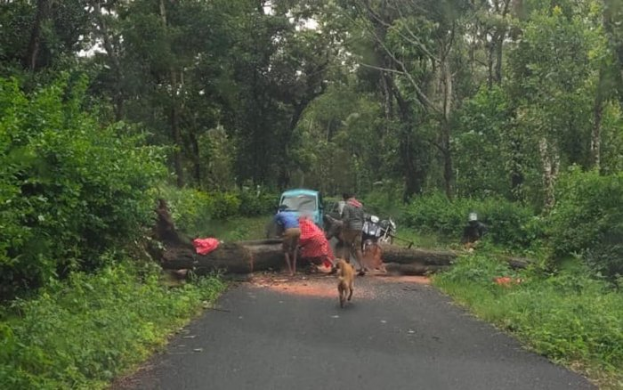 A tree being cleared to facilitate the movement of vehicles at Halase in Mudigere taluk.