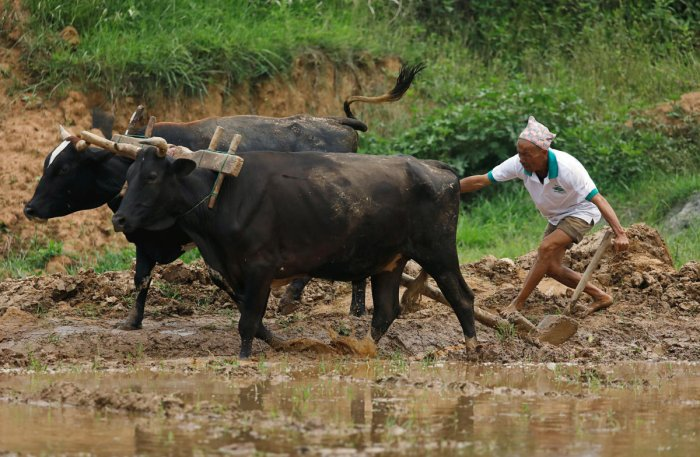 Indian farmers have planted 23.4 million hectares with summer crops, down 27% from this time a year ago, according to the Ministry of Agriculture & Farmers' Welfare. (Reuters Photo)