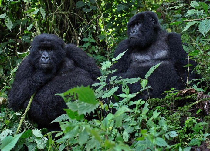 Gorillas, which in the wild spend most of their time in dense forests making behavioural studies tricky for researchers, are known to form small family units comprised of a dominant male and several females with offspring. (AFP File Photo)