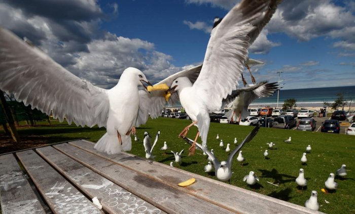 Australian seagulls carry drug-resistant bacteria that could lead to serious infections in humans, researchers (AFP Photo)