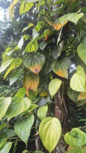 The disease-affected pepper vines at Nelaji village in Napoklu.