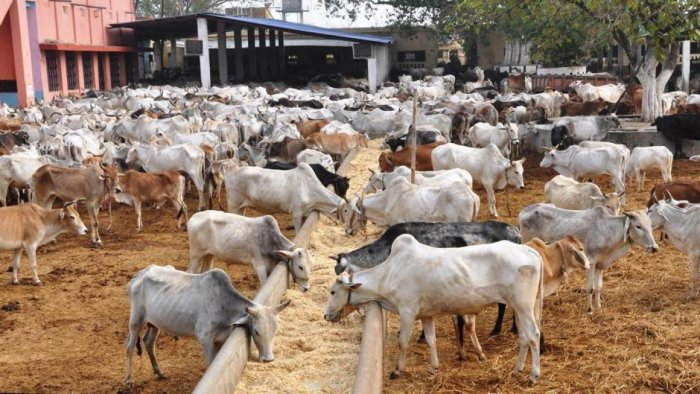 Kept in pathetic conditions at mostly open shelters, hundreds of bovines have died allegedly for want of food and poor upkeep since the onset of monsoon in the state prompting the state government to order a probe. (Image for representation)