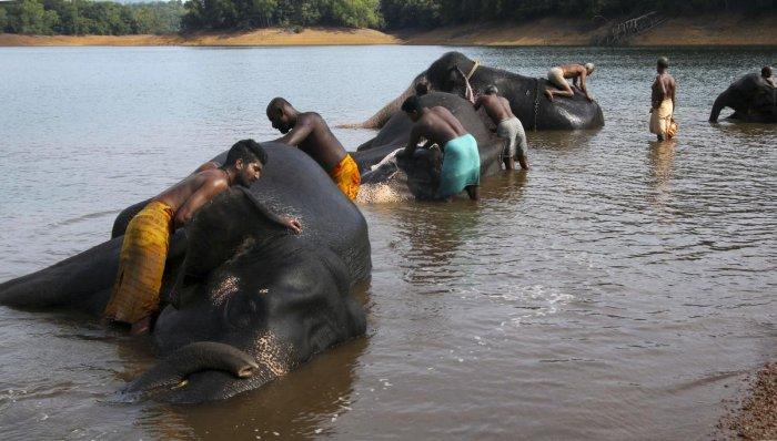 Mahouts bathe elephants at the Elephant Rehabilitation Centre in Kottoor, near Thiruvananthapuram. (PTI Photo)