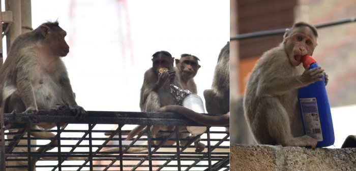The South Delhi Municipal Corporation (SDMC) is likely to file a review petition against a 2007 order of the Delhi High Court on catching monkeys and releasing them in the Ridge area. (DH Photo)