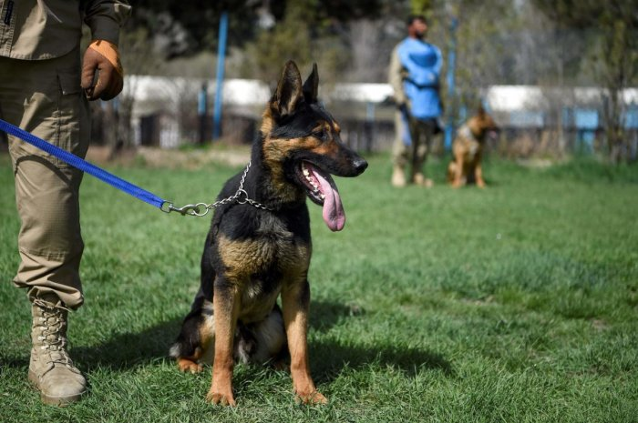 An explosive detection dog is kept on leash during a practice session at the Mine Detection Centre (MDC) in Kabul. - Naya, a three-year-old Belgian malinois, focuses intently as she leaps over hurdles and zooms through tunnels on an obstacle course at a t