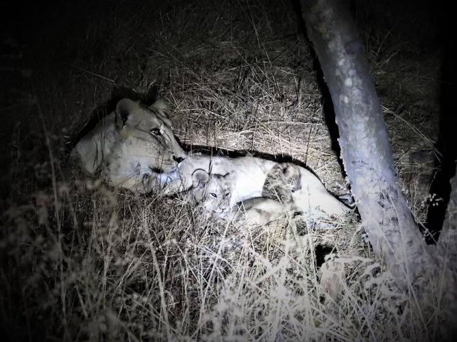 In the past two years, 222 Asiatic lions have died in their abode in Gir forest region. AFP file photo