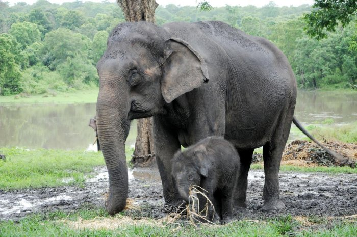 Possible degradation and progressive loss of habitat due to illegal felling of trees were found to be the major threat to elephant conservation. dh file photo