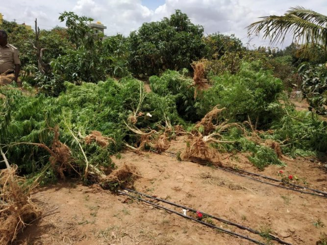 The destroyed ganja plants at a fruit orchard in Banaswadi limits.