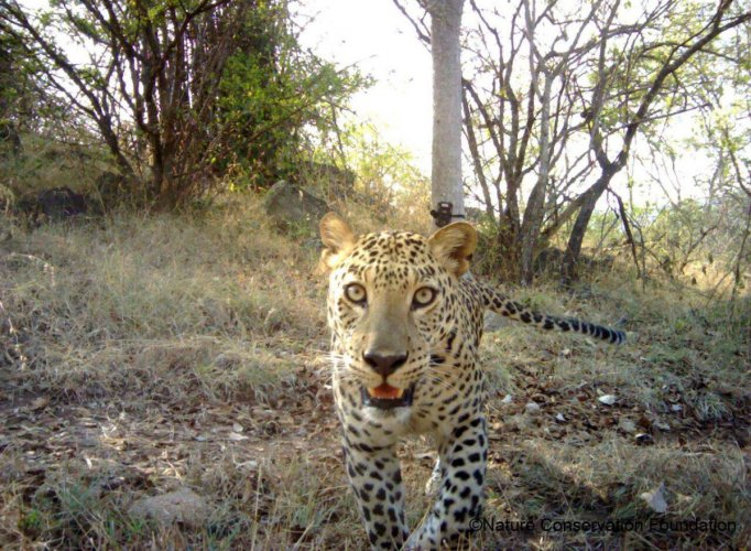 A leopard caught by a camera trap.