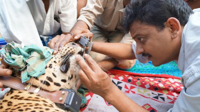Sanjay Gubbi examine a leopard during the census.