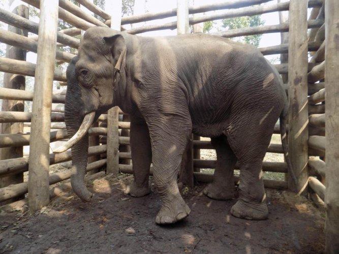 A captive elephant put in a kraal in Chamarajanagar. DH photo