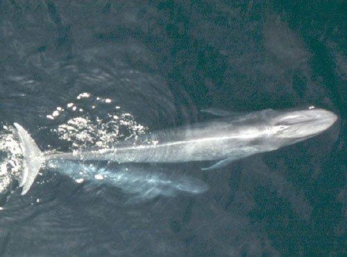 40-ft-long blue whale rescued off Maharashtra's Dapoli coast