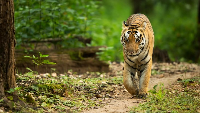 A tigress and its two cubs were found dead in Maharashtra's Chandrapur district on Monday morning, an official said. (File Photo)