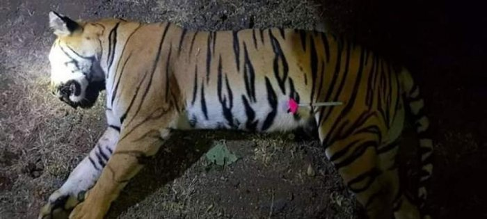 Avni was shot dead by Asghar Ali, a 'hunter' without necessary permit. PTI file photo