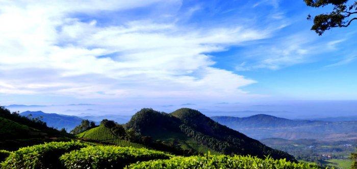 Tea plantations. PHOTOS BY AUTHOR
