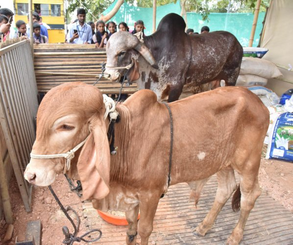 The petitioner relied on the National Commission for Cattle report submitted to the Centre by its acting chairperson Justice Guman Lal Lodha recently, which expressed serious concerns about the slaughter of milking cows and calves. (DH File Photo)