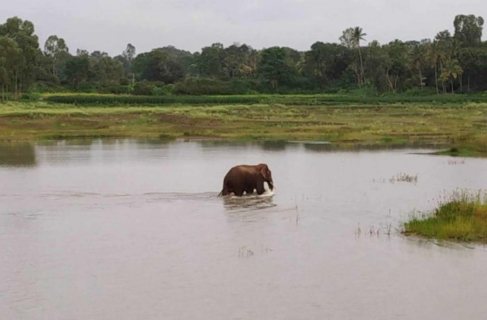 Stray tusker is a Hassan field