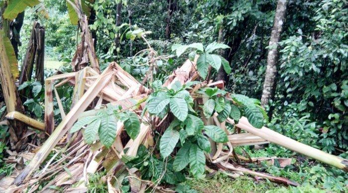 Banana plants damaged by elephants at Kannehalli in Mudigere taluk.