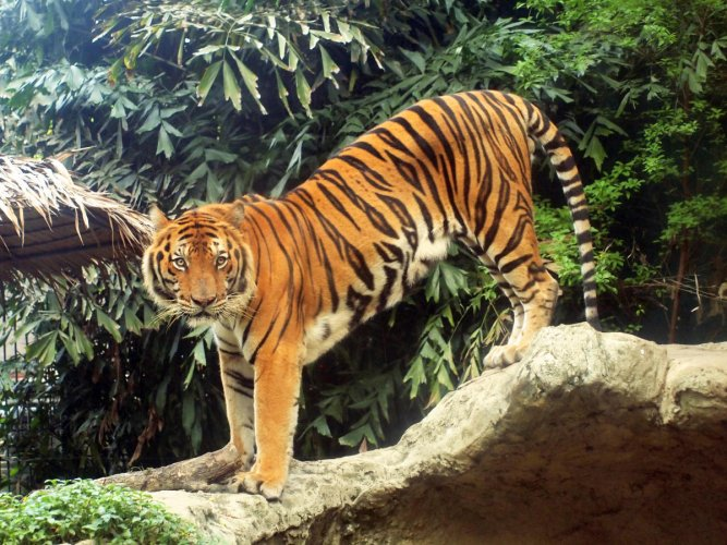 The Royal Bengal Tiger is one of the main tourist attractions in Sundarban. Photo credit: DH file photo