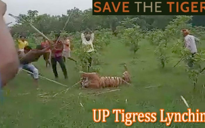 A video showing the locals beating the adult tigress with sticks. (DH Photo)