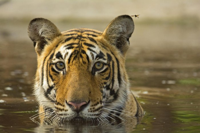 A tiger cooling off in Ranthambore National Park