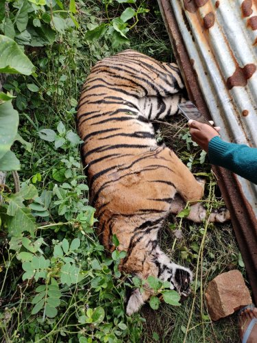 Carcass of a tiger found near Maguvinahalli in the taluk today morning. It is said that the tiger died due to the injuries but the cause of death is yet to be ascertained. Forest department officials have visited the spot (DH Photo)