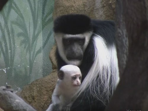 Baby monkeys grow faster to avoid infanticide: study
