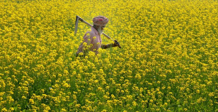GM mustard safe for ecology, consumption: panel