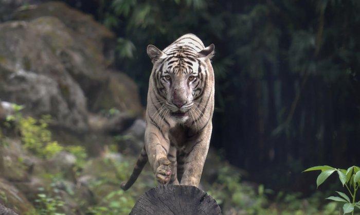 Bengal tiger (PTI Photo)
