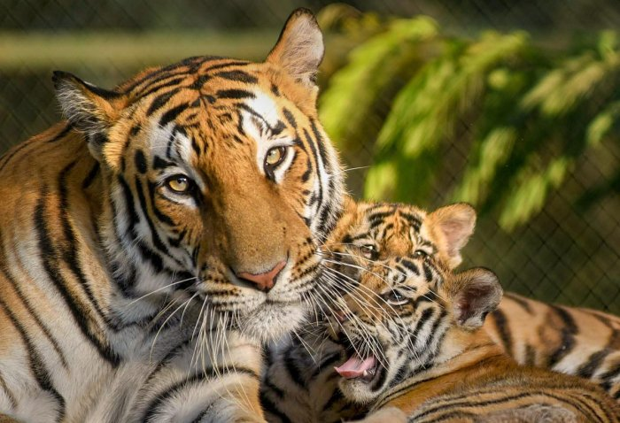 The tiger population in India has grown from 1,411 in 2006 to 2,967 in 2019, according to the report. (PTI File Photo)