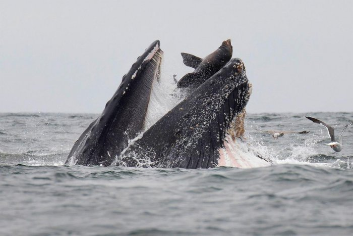 This handout picture shows a sea lion accidentally caught in the mouth of a humpback whale in Monterey Bay, California. (AFP/Chase Dekker)