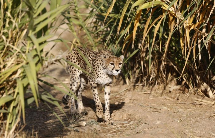 Iran moves to save last Asiatic cheetahs