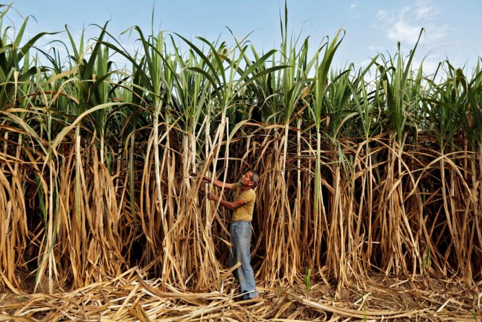 FILE PHOTO: A farmer works in his sugarcane field on the outskirts of Ahmedabad. REUTERS