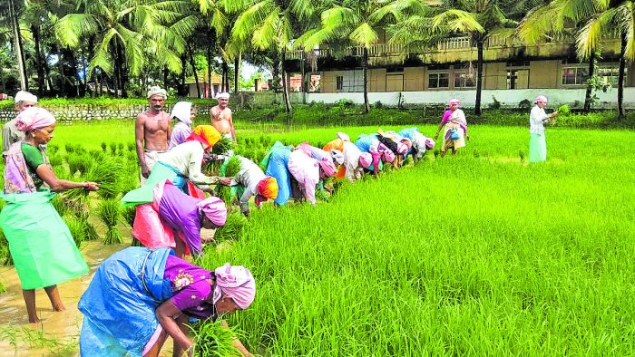 Labourers engaged in transplanting paddy seedlings in a field at Gurupura Kukkudakatte on the outskirts of Mangaluru.