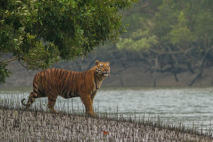 The days of tigers roaming in the wild in Bengal are numbered. (Image courtesy: Wikipedia/ Soumyajit Nandy)