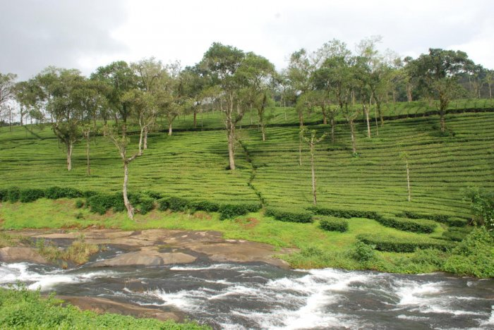 The Indian Tea Association (ITA) has appealed to the government seeking its intervention for the revival of the tea industry. (DH Photo)