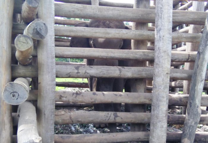 The elephant is now confined to a crawl in Dubare elephant camp.