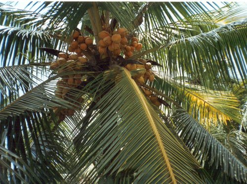 Coconut tree is no tree? Goa govt is nuts, says Oppn