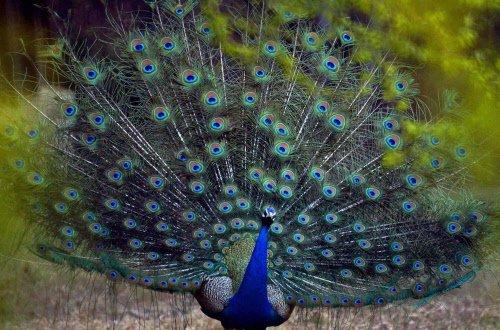 Congress slams Goa govt for listing peacock as nuisance animal