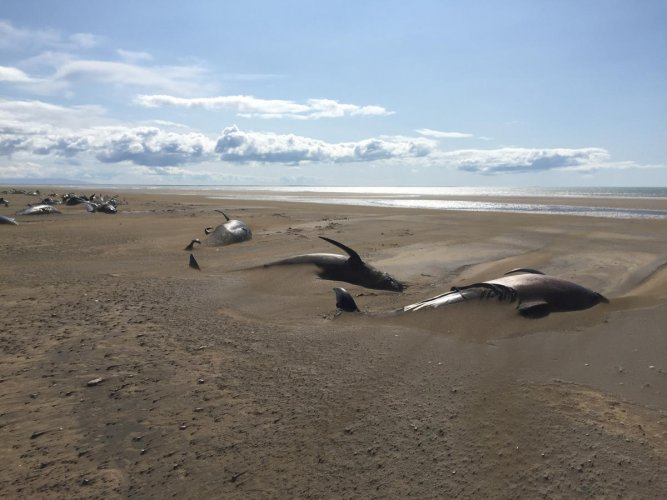 Stranded whales lie on the beach (Reuters Image for Representation)