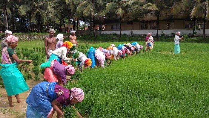 Farm labourers engage in transplanting paddy seedlings at Gurupura Kukkudakatte on the outskirts of Mangaluru. DH Photo