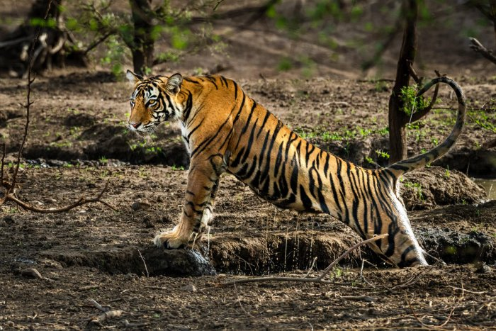 Jai, the tiger, emerging from a waterhole at Ranthambore National Park in June 2018. Photo/Dinesh Allamaprabhu
