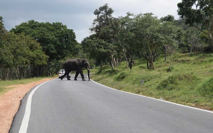 """The Supreme Court has asked the Union government to develop the alternative route as the national highway to ensure that the roads, passing through the Bandipur Tiger Reserve, is shut down permanently, since the issuerelated to""""nothing less than the core area of the national park"""". DH file photo"""