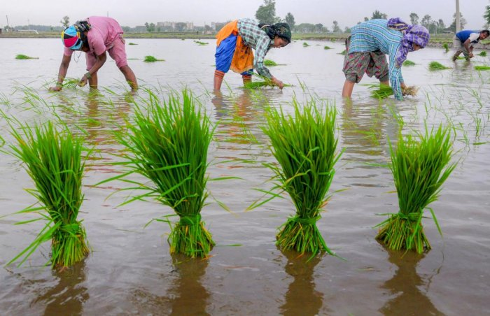 Workers plant paddy seedlings in a field at Nabipur village some 15 km from Amritsar. PTI